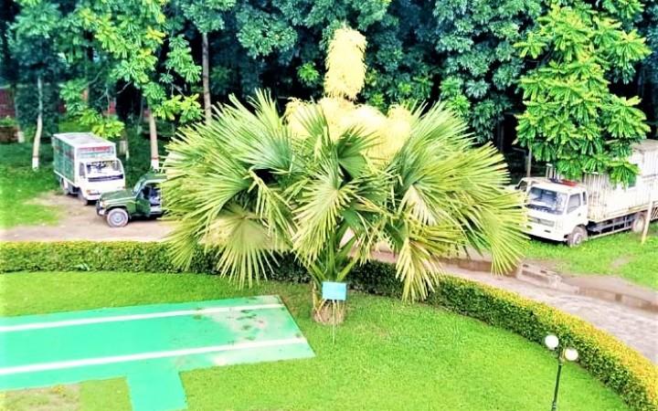 টাঙ্গাইল সার্কিট হাউজের তালিপাম গাছে ফুটেছে 'মরণফুল'